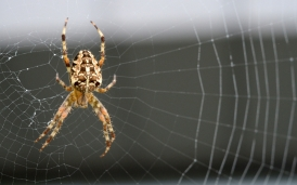 Brown Garden Spider